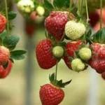 Τα πάντα για την φράουλα και την καλλιέργεια της...