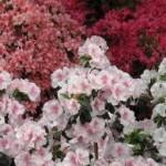 Τα πάντα για τις τριανταφυλλιές