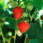 Φράουλες στο μπαλκόνι σας