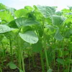 Το σπανάκι και πώς καλλιεργείται