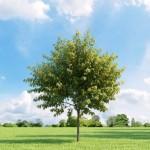 5 Δέντρα Ταχείας Ανάπτυξης για έναν ωραίο και σκιερό κήπο.