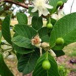 Εξωτικά φρούτα: Γκουάβα (Psidium guajava)
