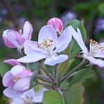 Μυκητολογικές ασθένειες των μηλοειδών την περίοδο της άνοιξης