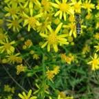 Ακονιζιά-Τo απόλυτο μελισσοκομικό φυτό του φθινοπώρου