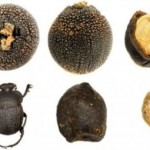 Φυτό καλεί τα σκαθάρια σε δείπνο και τους πασάρει σπόρους
