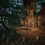 Το γηραιότερο δέντρο της Βρετανίας, αλλάζει… φύλο