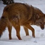 Ένα νέο είδος γεννιέται από τη διασταύρωση κογιότ, λύκων και σκύλων