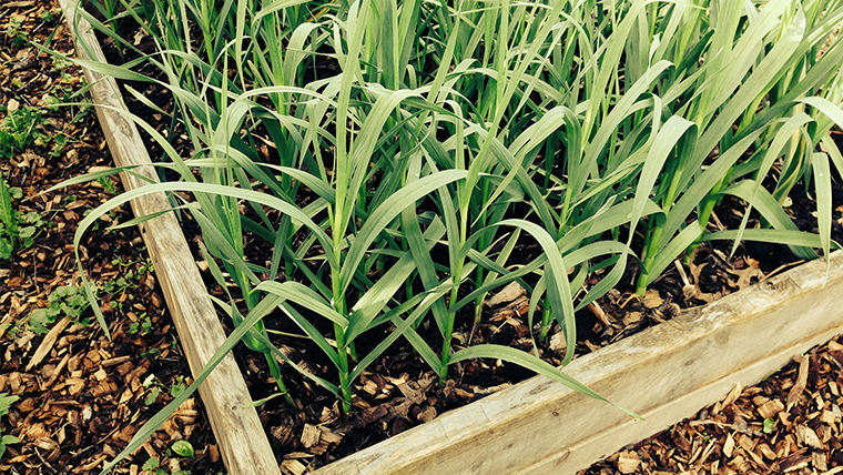 onion_garden