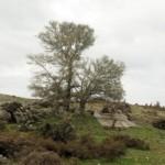 Αμπελιτσιά: Tο εμβληματικό δέντρο της Κρήτης