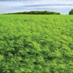 Eπιδότηση… για φυτείες κάνναβης