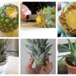 Πως μπορούμε να φυτέψουμε έναν ανανά στην γλάστρα μας και ποιές είναι οι θεραπευτικές του ιδιότητες ;
