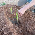 Τι φυτεύουμε, καλλιεργούμε και τρώμε τον Ιούνιο
