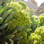 Koμοτηνή: «Καλλιεργείστε κρίταμο στη Θράκη»