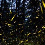 Πώς οι πυγολαμπίδες «έσωσαν» πευκοδάσος στο Μεξικό από τους υλοτόμους