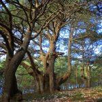 Ο Κέδρος του Λιβάνου – Ένα δέντρο σύμβολο