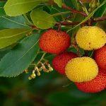 Κούμαρο ένα άγριο φρούτο της Ελληνικής χλωρίδας με ιαματικές ιδιότητες