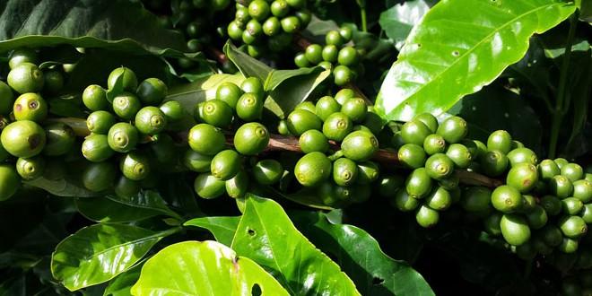 Η υπερθέρμανση του πλανήτη απειλεί την καλλιέργεια καφέ