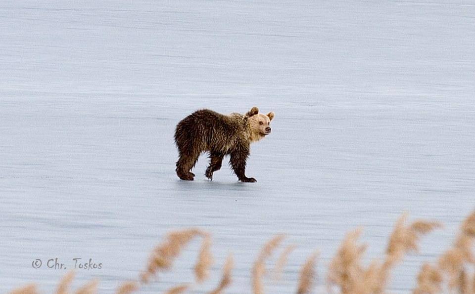 Αρκουδάκι σουλατσάριζε ώρες στην παγωμένη λίμνη της Καστοριάς [ΒΙΝΤΕΟ]