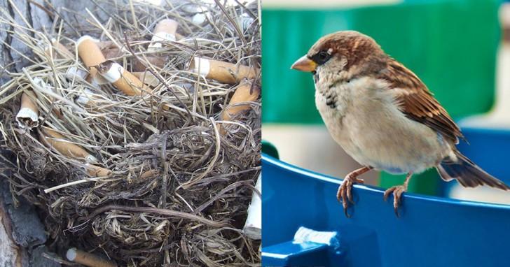 Γιατί τα πουλιά βάζουν τσιγάρα στις φωλιές τους;