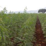 Αντιμέτωποι με τη γραφειοκρατία οι καλλιεργητές κάνναβης στη Μεσσηνία