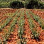 Εκπαιδευτικά σεμινάρια για καλλιέργεια αρωματικών & φαρμακευτικών φυτών