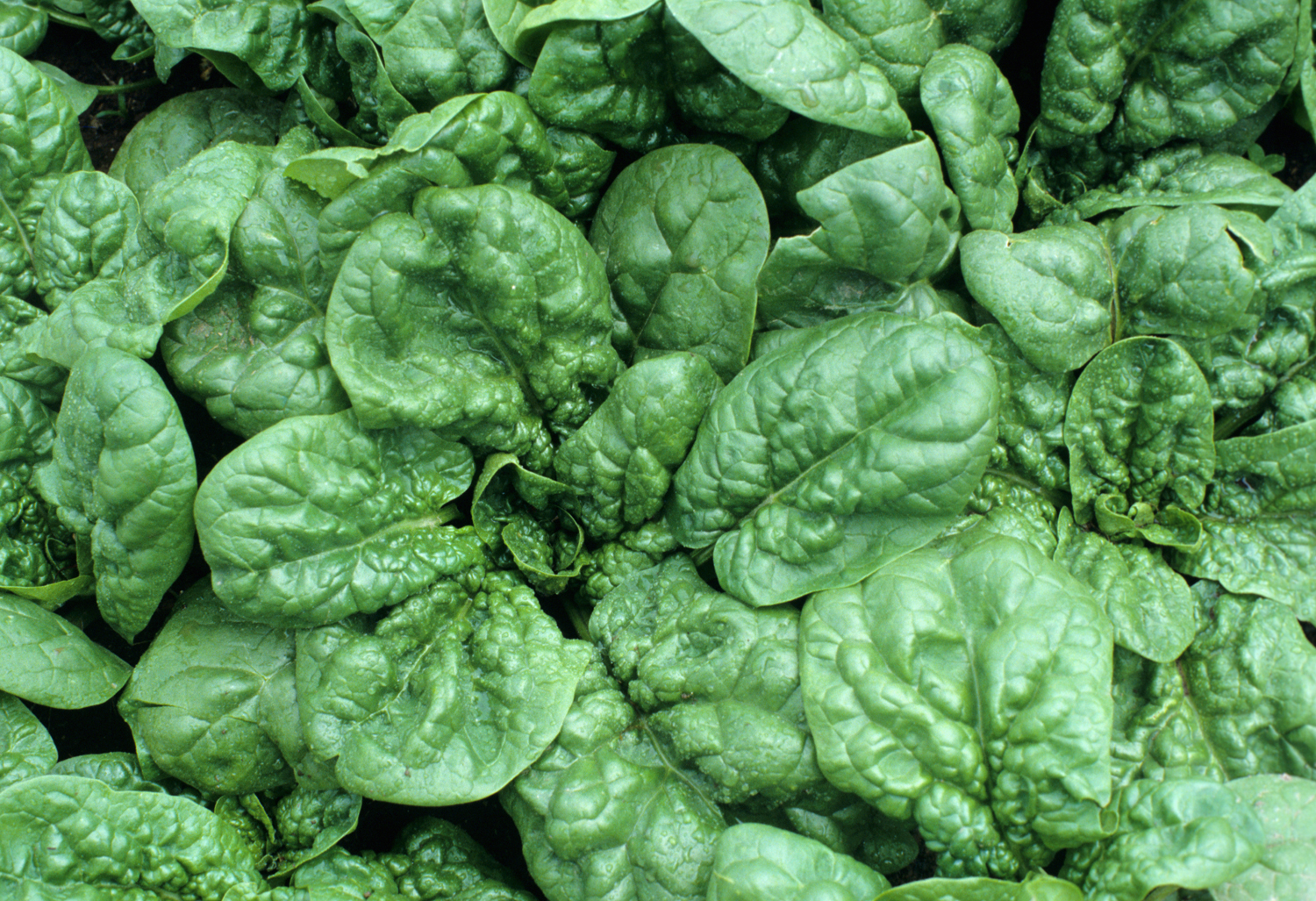 bloomsdale_spinach_seeds