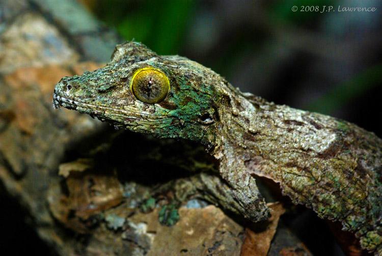 mossy-leaf-tailed-gecko-3