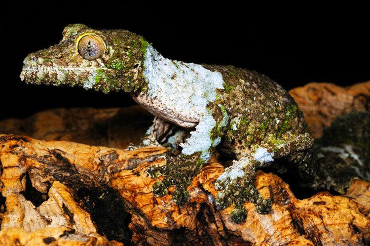mossy-leaf-tailed-gecko