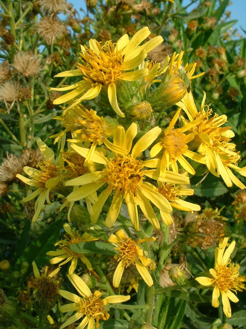 Inula_viscosa_flowers