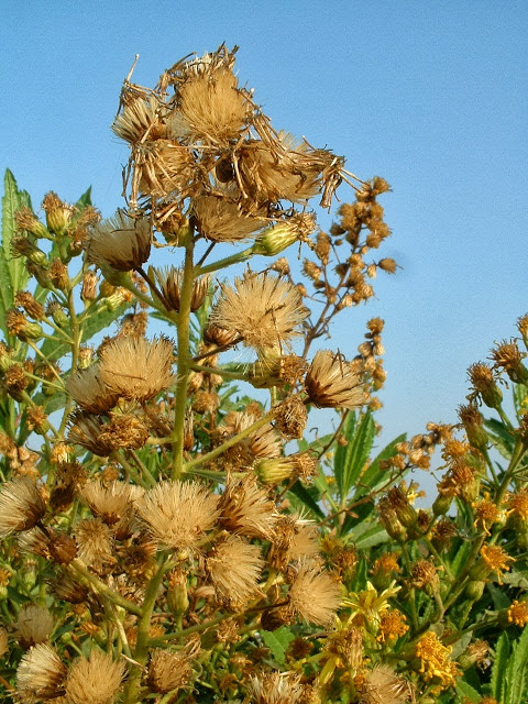 Inula_viscosa_seed_heads